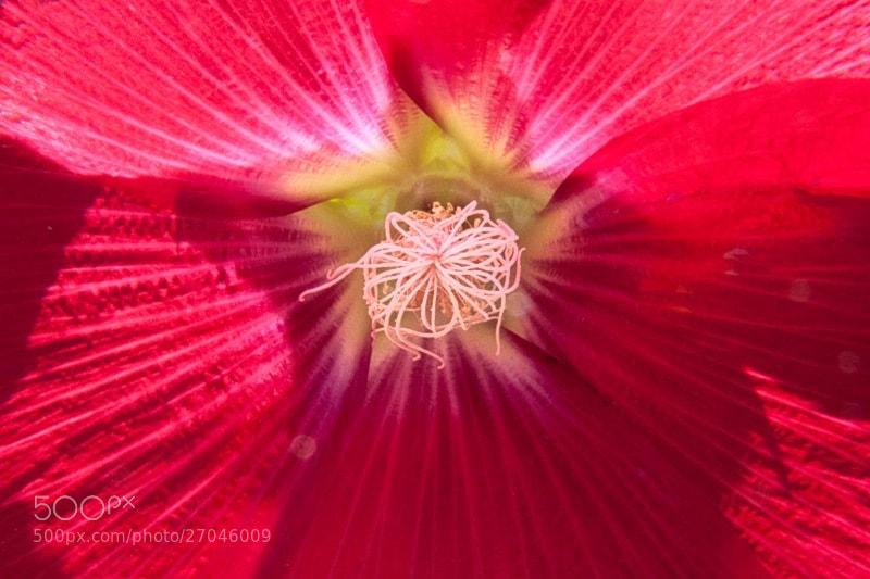 Camino de Santiago 2012  Astorga - El Ganso III  _______________________________  En El Ganso estas flores estaban por todos los sitios, y en todos los colores, no se como se llaman, pero estaban en su máximo esplendor.  _______________________________