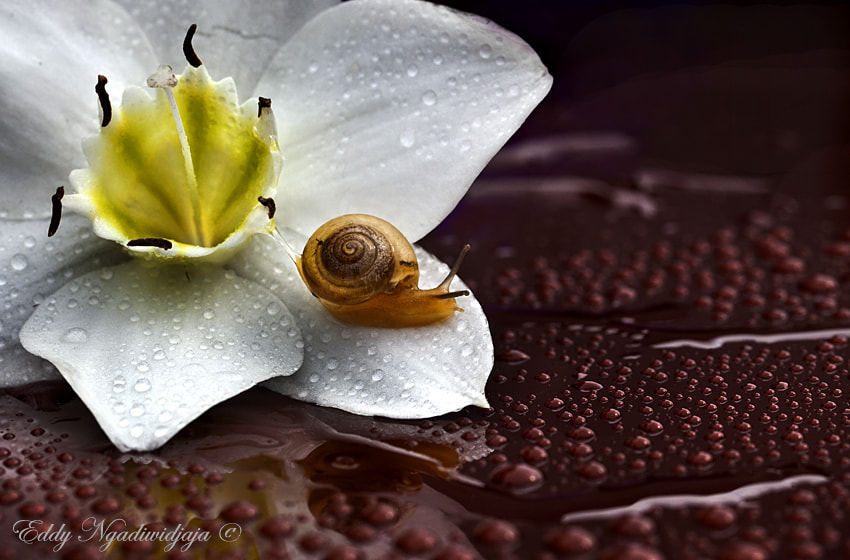 Photograph Flower & snail by Eddy Ngadiwidjaya on 500px