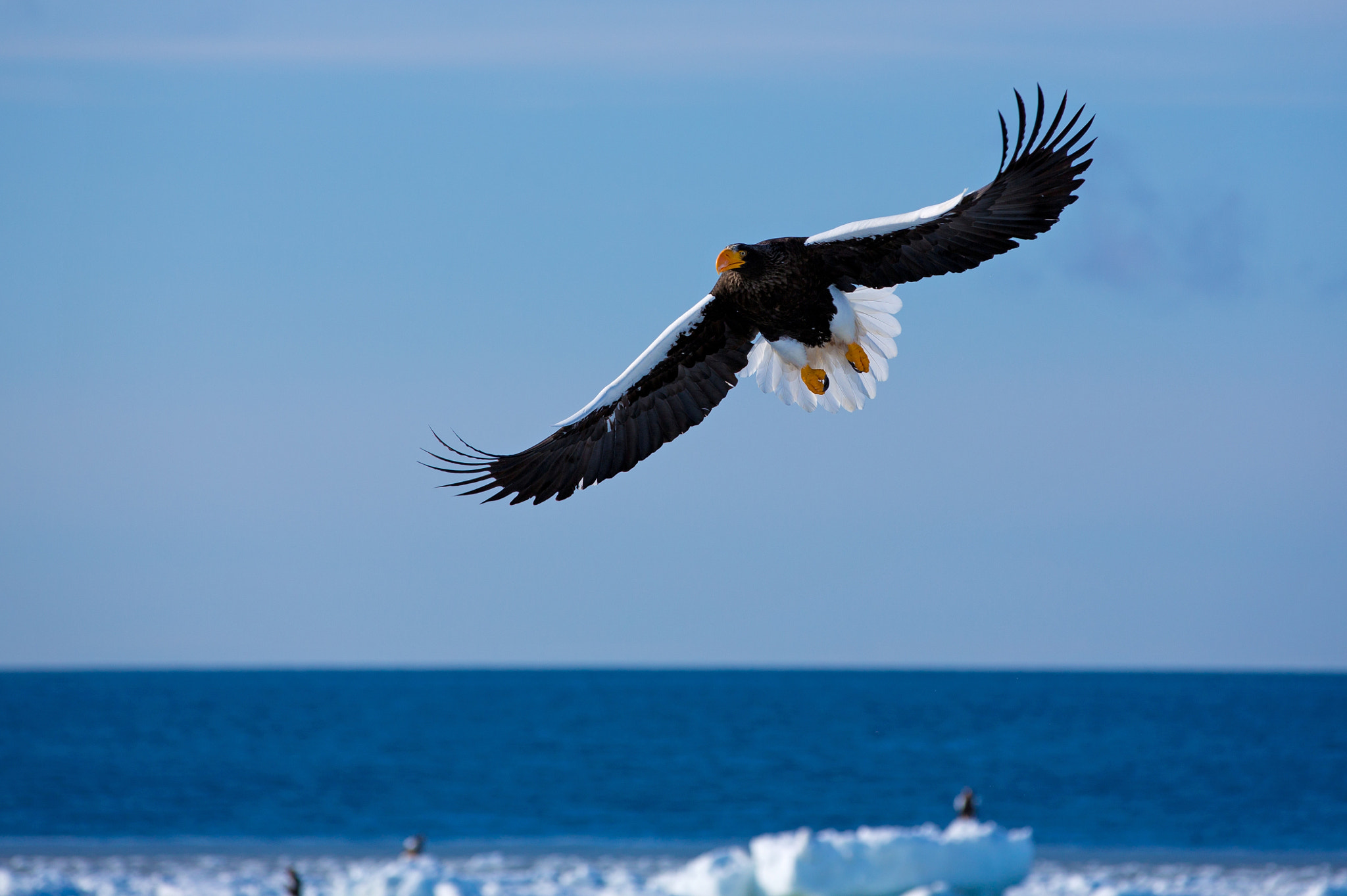 Photograph Steller's sea eagle by Akiko F on 500px