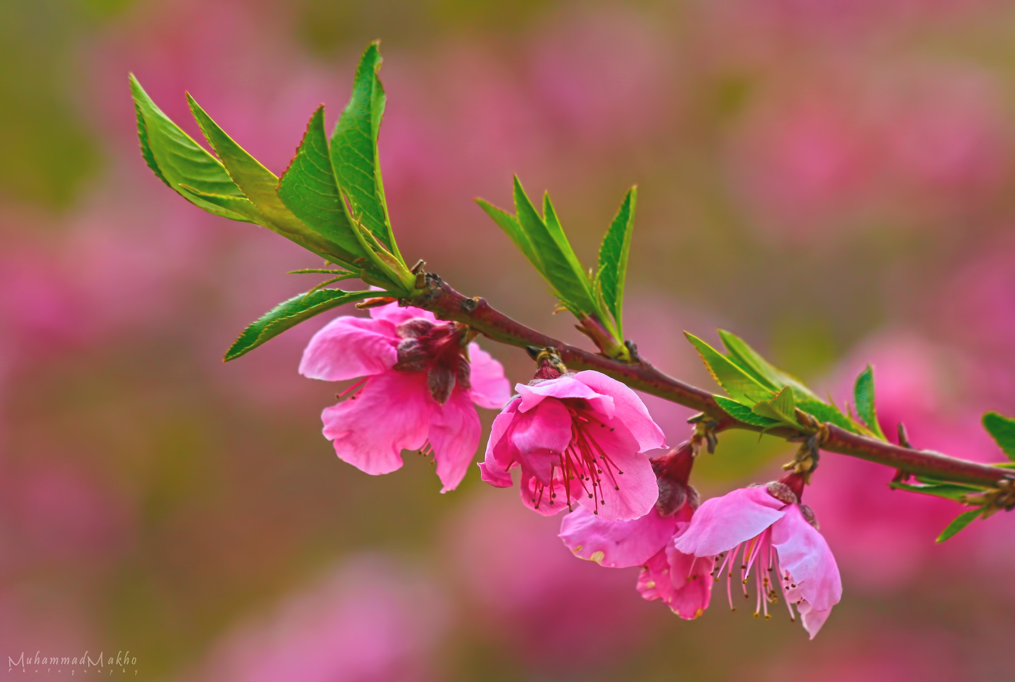 Photograph Pink by Muhammad Makho on 500px