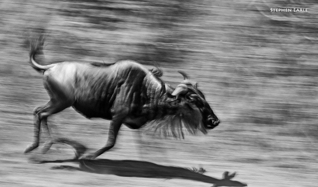 Photograph Wildebeest  by Stephen Earle on 500px