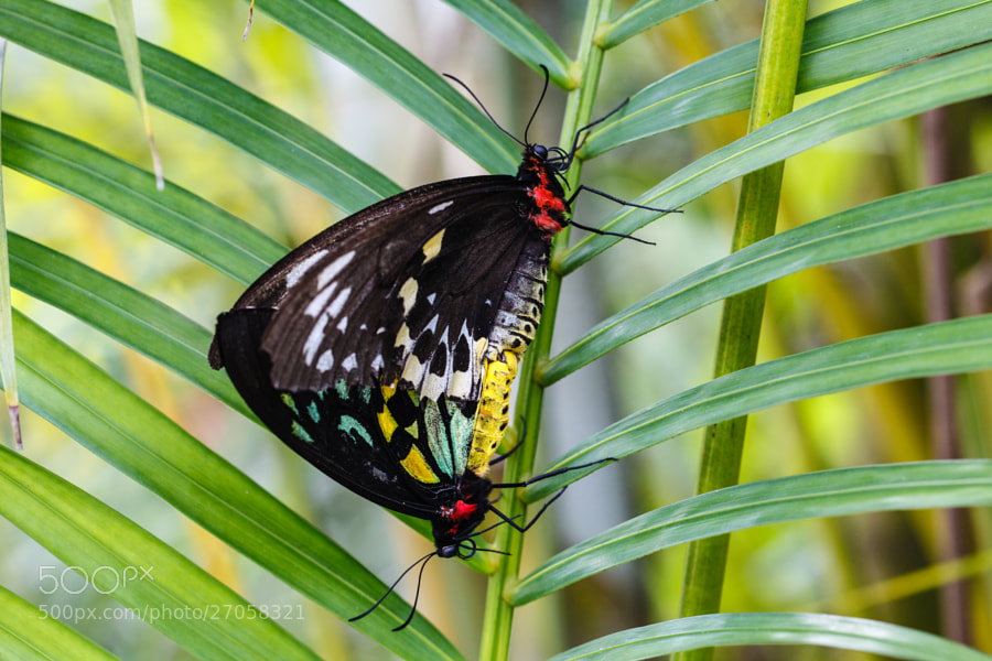 Birdwing Butterflies at Butterfly World, Coconut Creek, Florida.