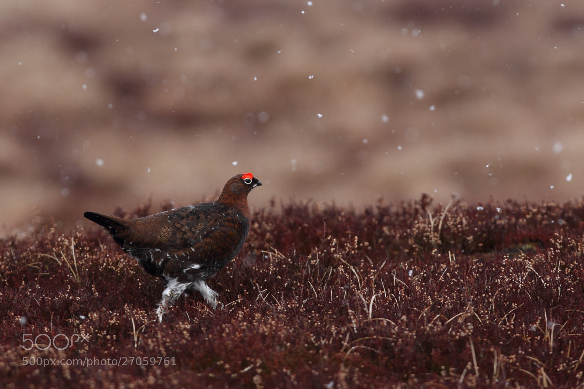 Photograph Red Grouse by John Betts on 500px