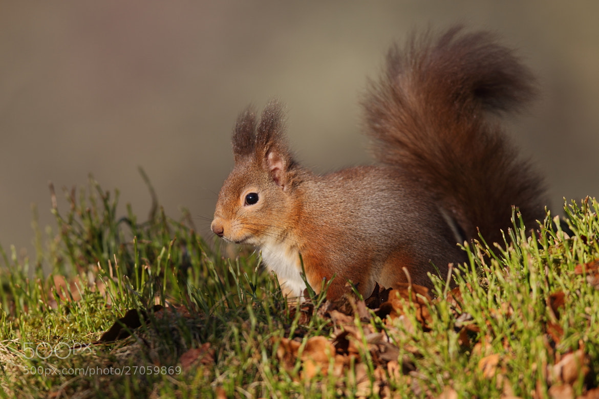 Photograph Red Squirrel by John Betts on 500px