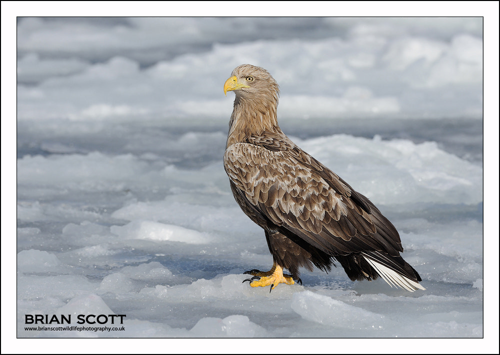 Photograph White-tailed Eagle by Brian Scott on 500px