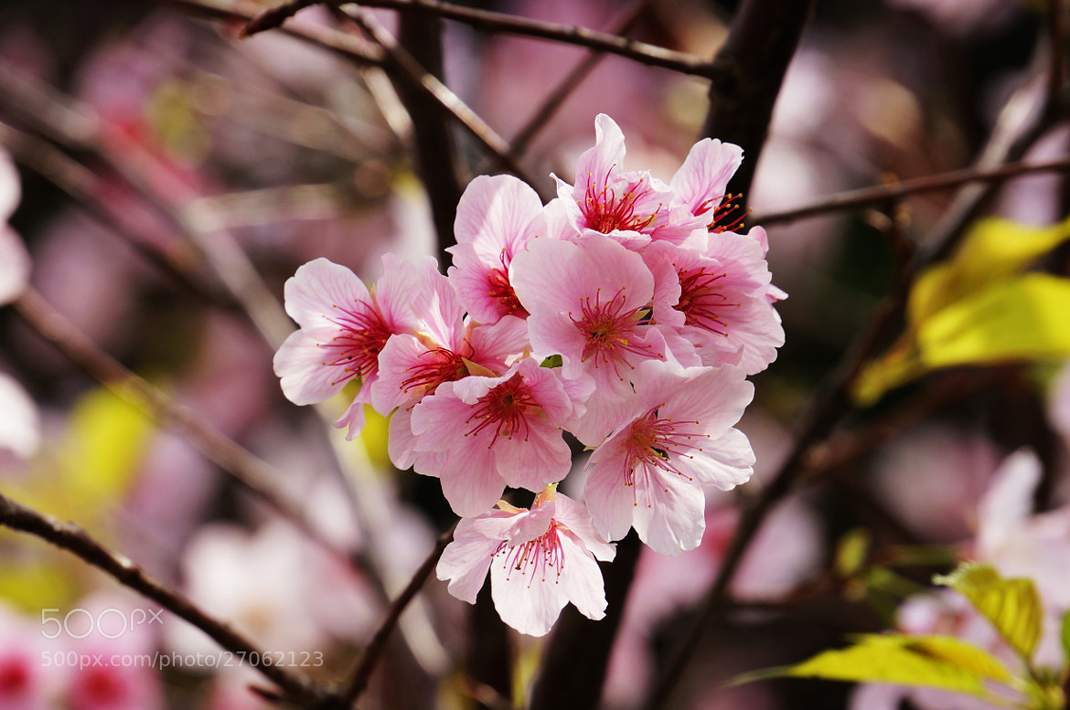 Photograph cherry blossom by liou han-lin on 500px