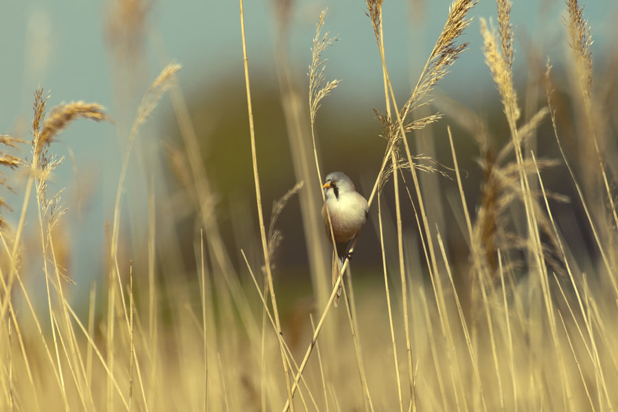 Bearded reedling, автор — Vladimir Maric на 500px.com