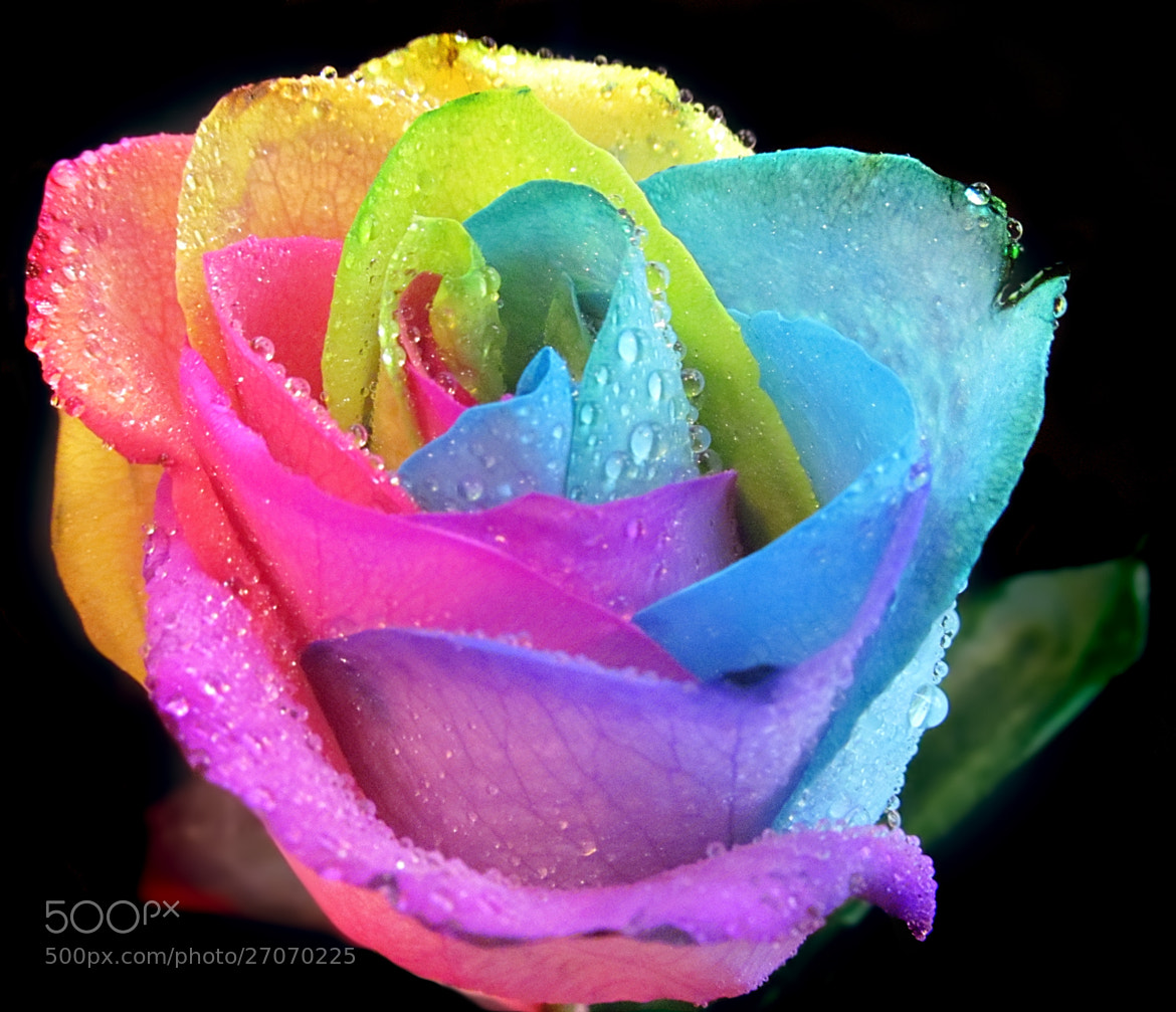 Photograph Rainbow Rose by Andy Graham on 500px