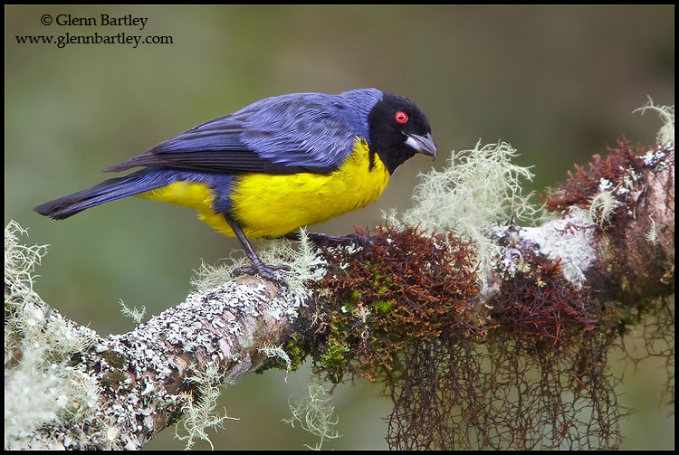 Photograph Hooded Mountain-Tanager (Buthraupis montana) by Glenn Bartley on 500px