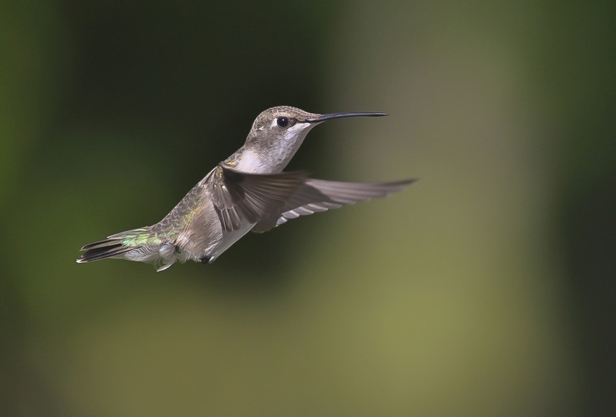 Photograph Colibri. by Luis Jaime Leal on 500px