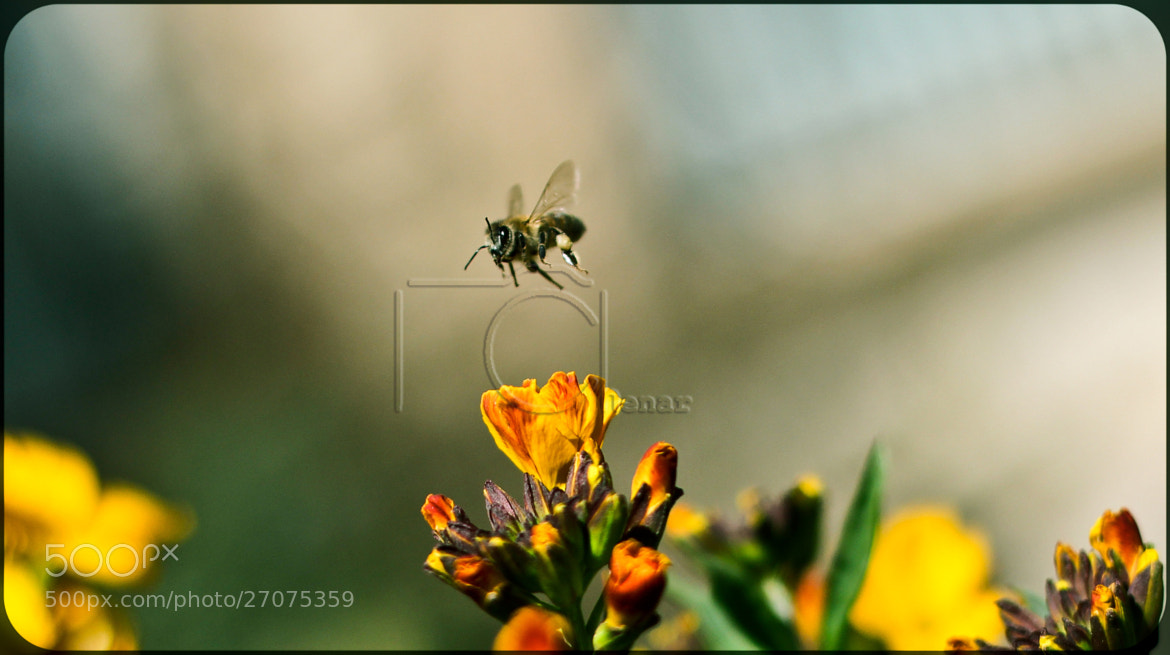 Photograph Bee ... by Chenar  Othman on 500px