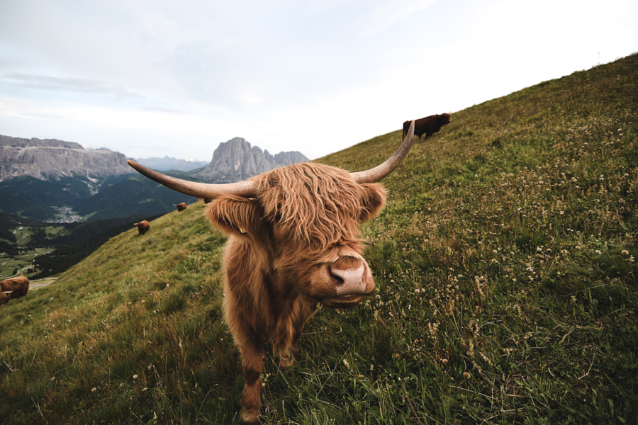 Muuu...dy by Mattia Albertin on 500px.com