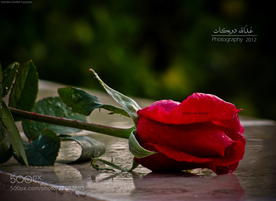 Photograph Red rose ~!  by Abdullah Dwaikat on 500px