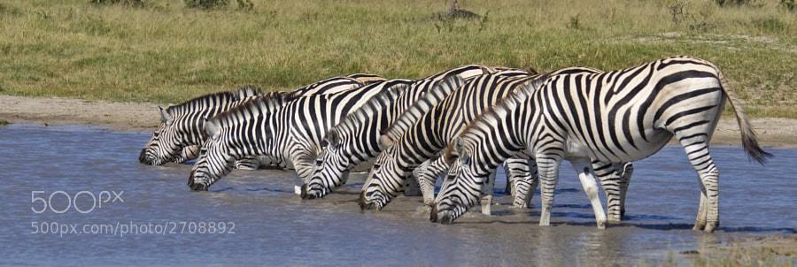 Taken in savute Marsh area of Chobe National Park, Botswana, 5th May 2010