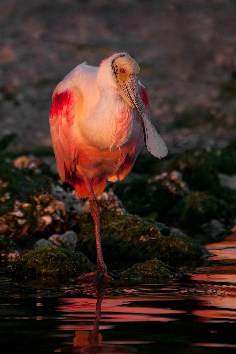 Photograph Liquid Pink - Roseate Spoonbill by Daniel Cadieux on 500px