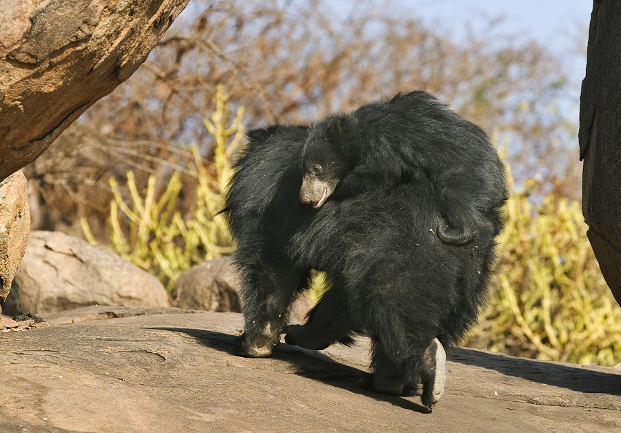 Unfortunately the position I was in meant that I could not spot this until quite late and this was the only imafe I got, blast!!!  Taken in Darojo Sloth Bear Sanctuary, India, 1st April 2011