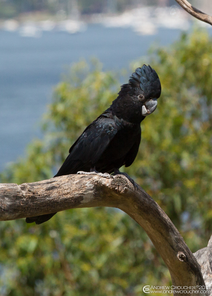Photograph Banksian Cockatoo by &rü C on 500px
