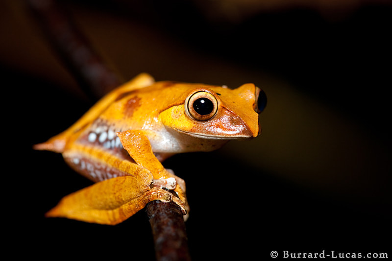 A Madagascar tree frog photographed at night in the rainforest of Andasibe National Park.