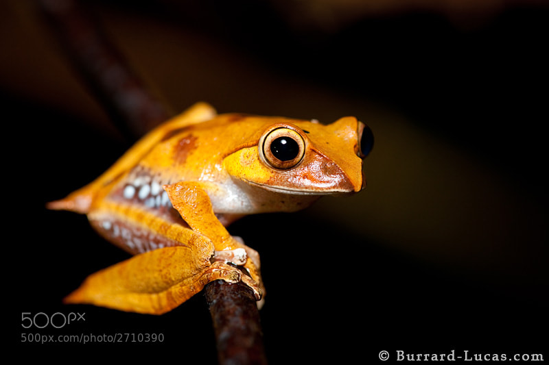 """A Madagascar tree frog photographed at night in the rainforest of Andasibe National Park.  - More <a href=""""http://www.burrard-lucas.com/madagascar/"""">Madagascar photos</a>"""