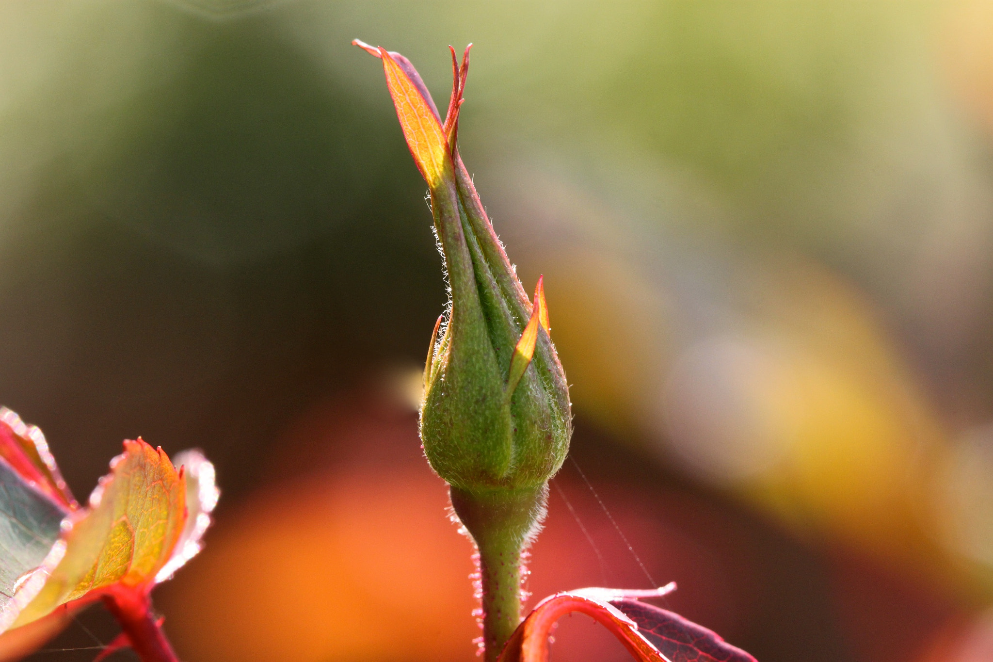 Photograph Leaf Bud  by Donna Seen on 500px