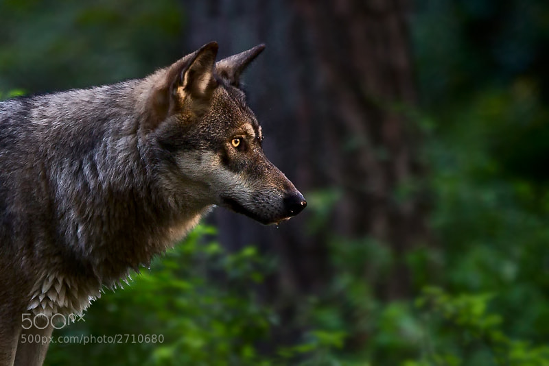 Photograph In the Eye of the Wolf by Schluck Rawks on 500px