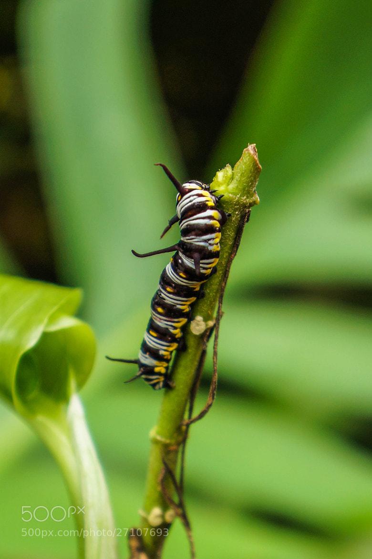 Photograph Caterpillar by Alyssa Paraggio on 500px