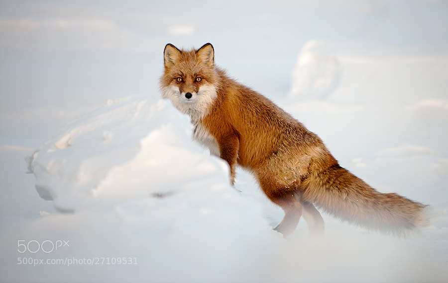 Photograph fox by Ivan Kislov on 500px