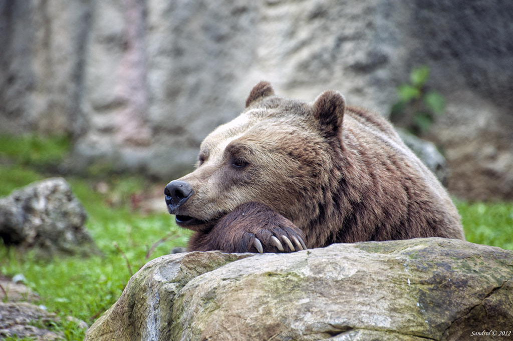 Photograph The bear bored by Sandro L. on 500px