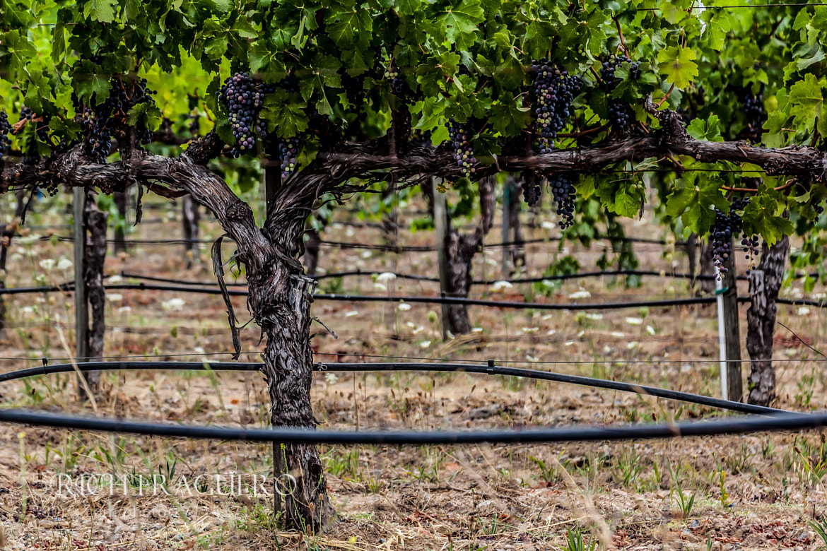 Photograph Napa Vines by fraguero1 on 500px