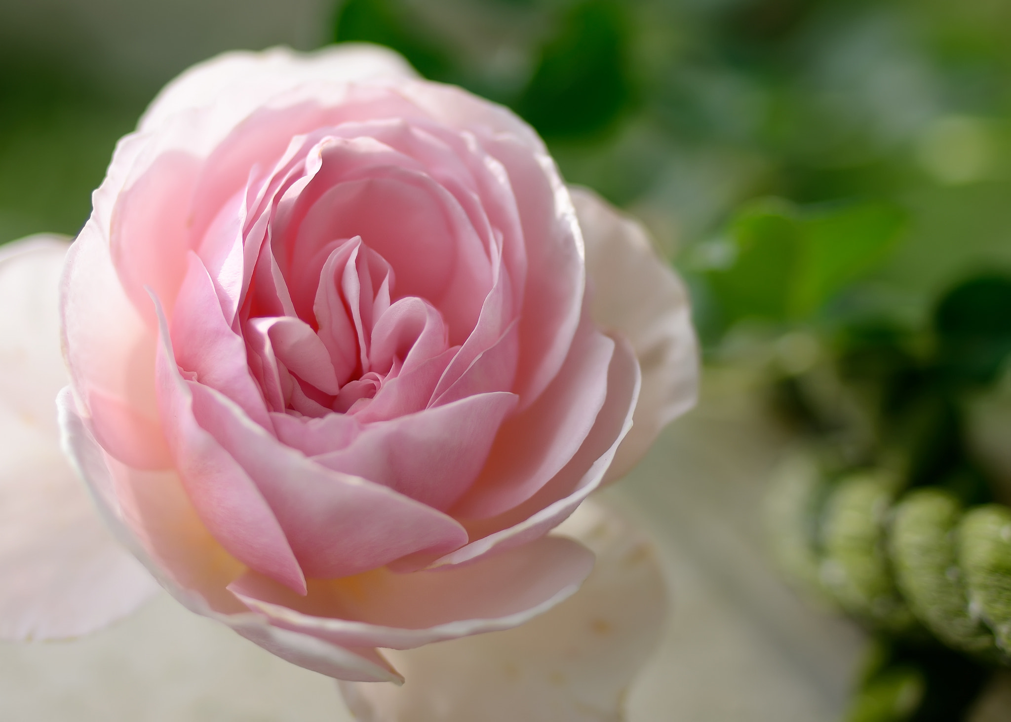 Photograph Rose rose I love you by Brian Hsu on 500px