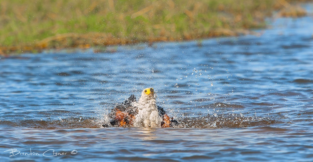 Photograph Bathing Fish Eagle by Brendon Cremer on 500px