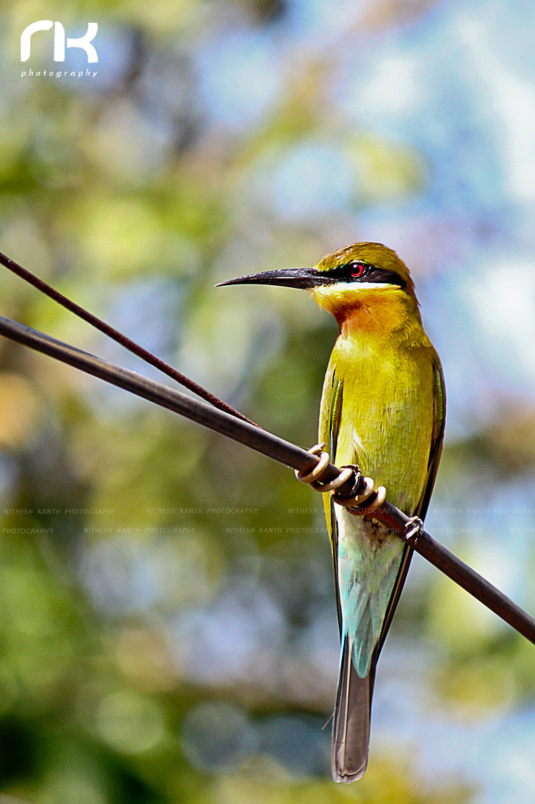Photograph Bee Eater by Nithesh Kanth on 500px