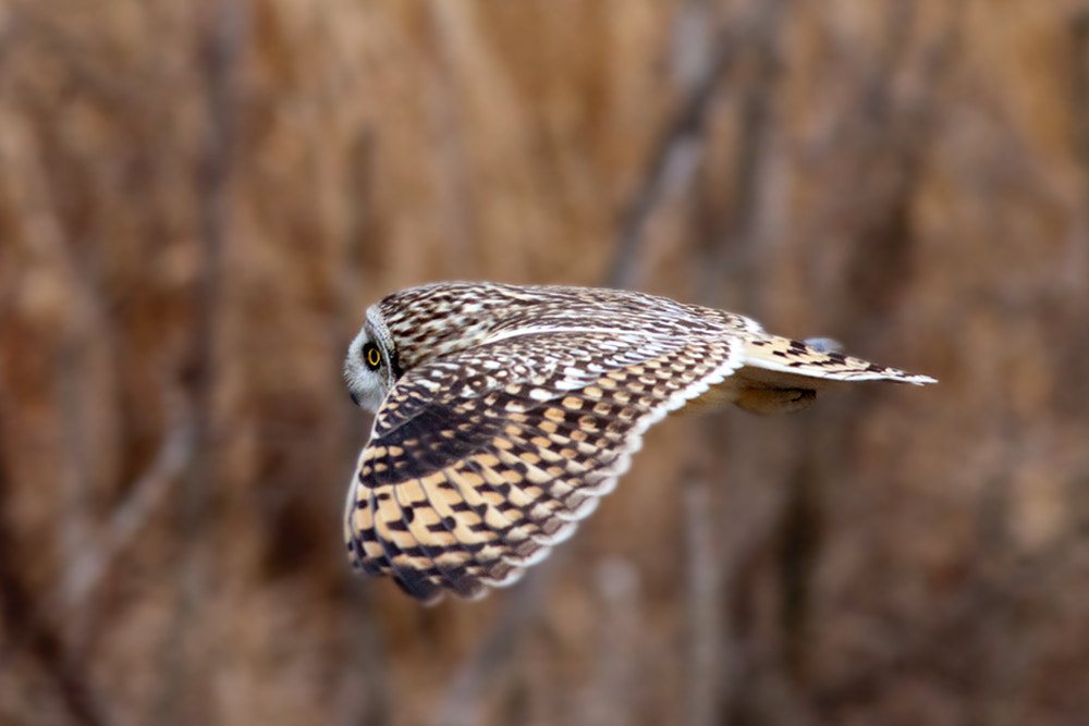 Photograph Fly short-eared owl by JinHyouk Jang on 500px