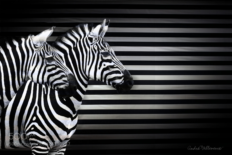 Photograph Black white and zebras by Andre Villeneuve on 500px