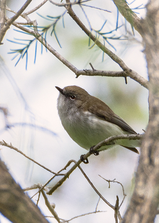 Weebill by Paul Amyes on 500px.com