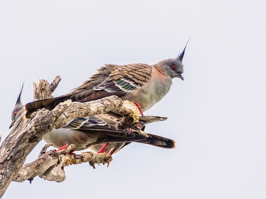 Crested Pigeon by Paul Amyes on 500px.com