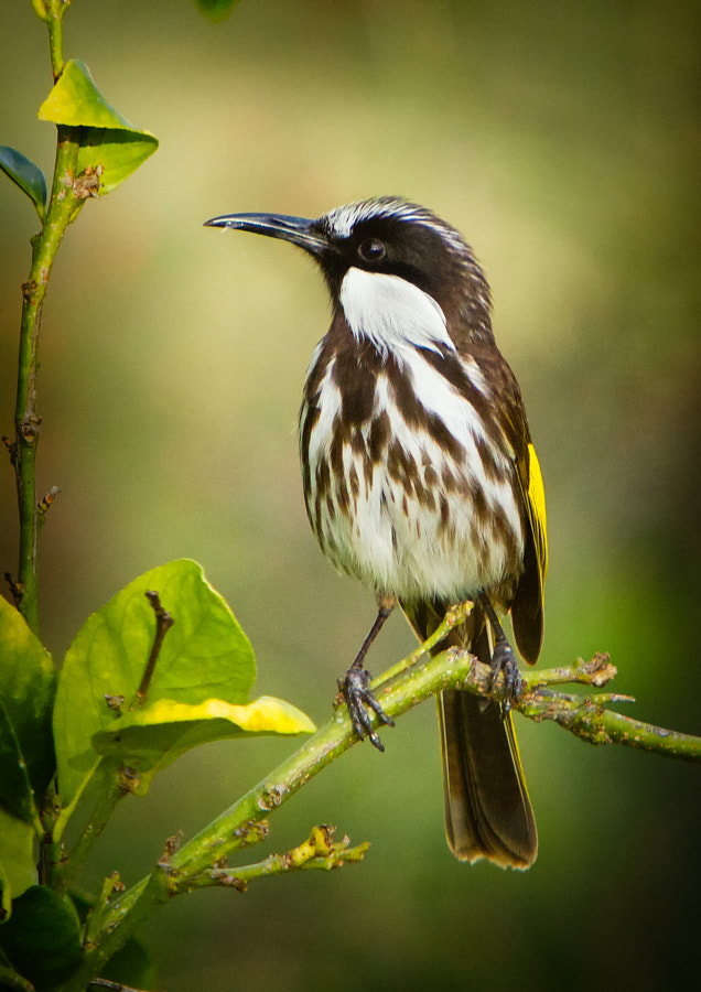 White-cheeked Honeyeater by Paul Amyes on 500px.com