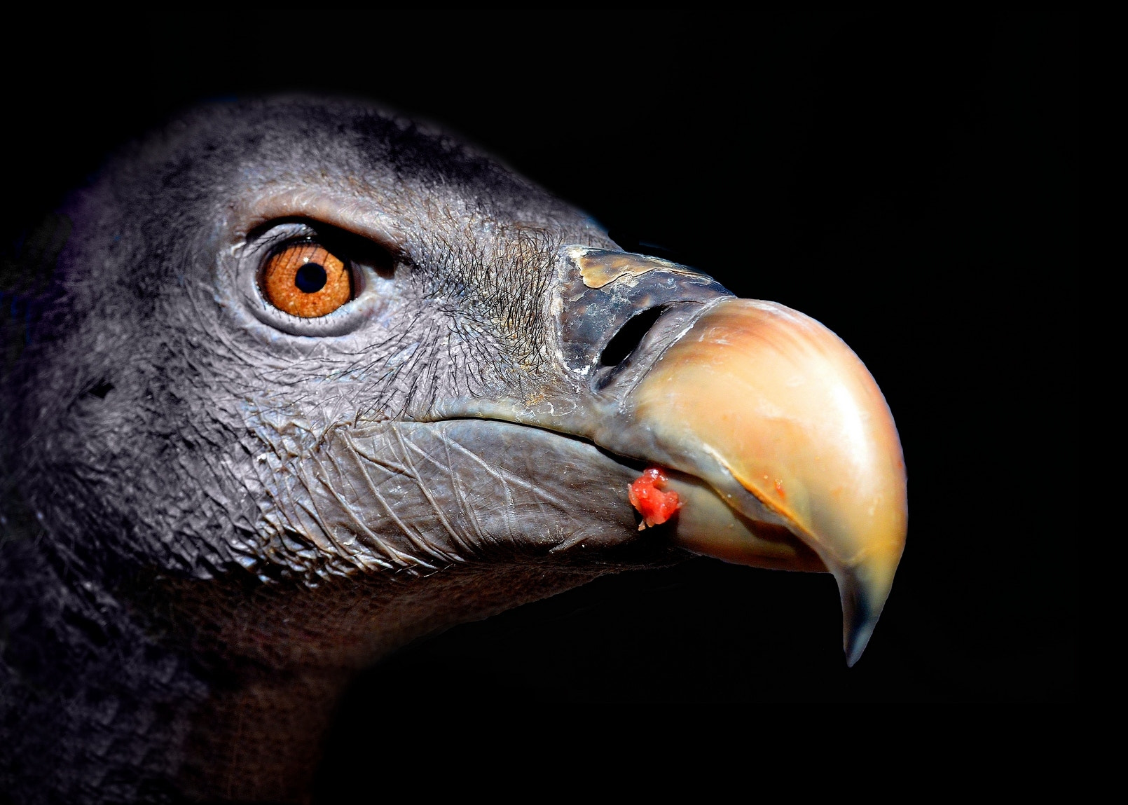 Photograph Vulture Head by Phil Cousins on 500px