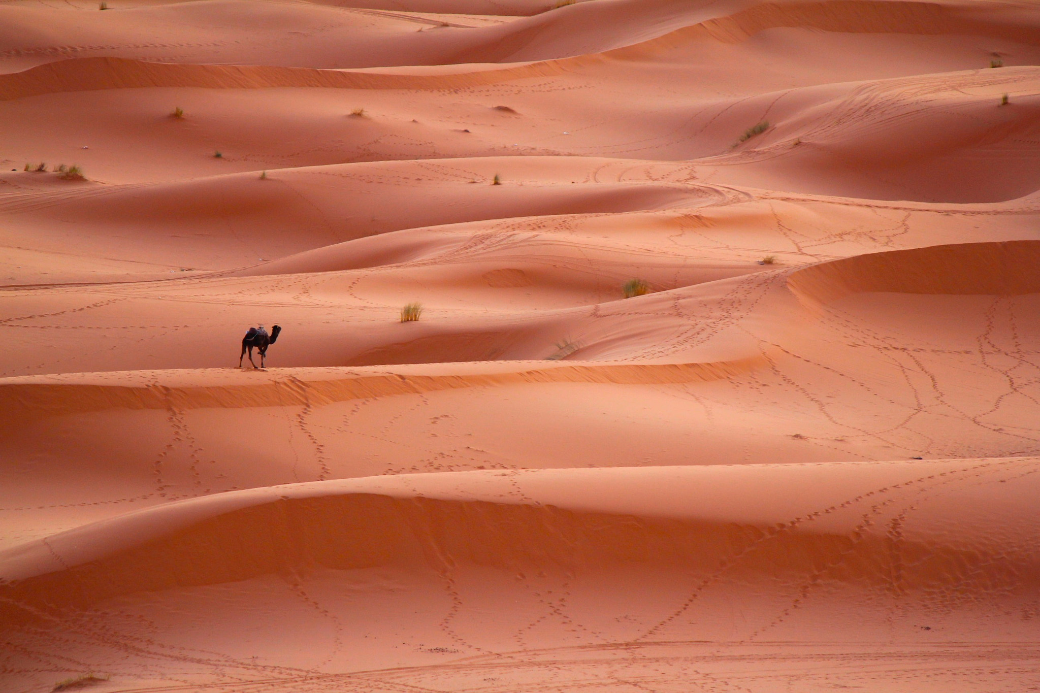 Photograph lonely camel by Elisabeth Simard on 500px