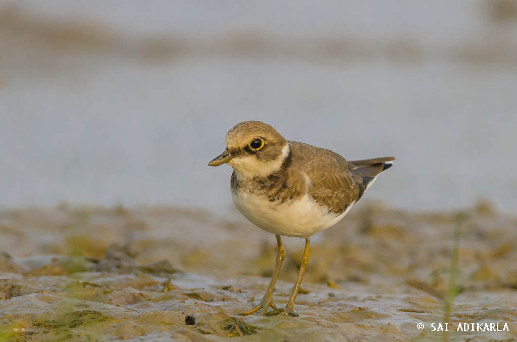 Photograph Little Ringed Plover by Sai Adikarla on 500px