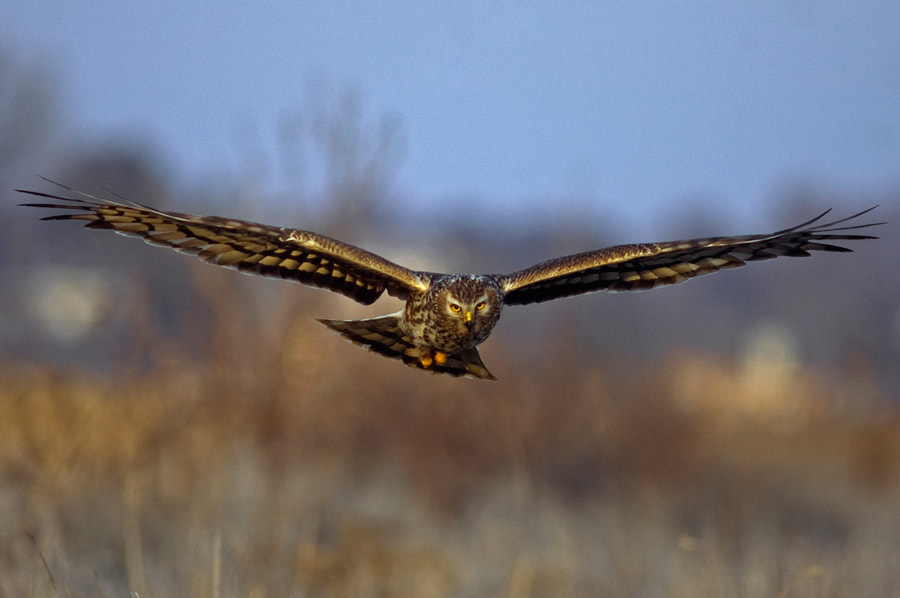 Photograph Hen harrier by Sidney Bovy on 500px