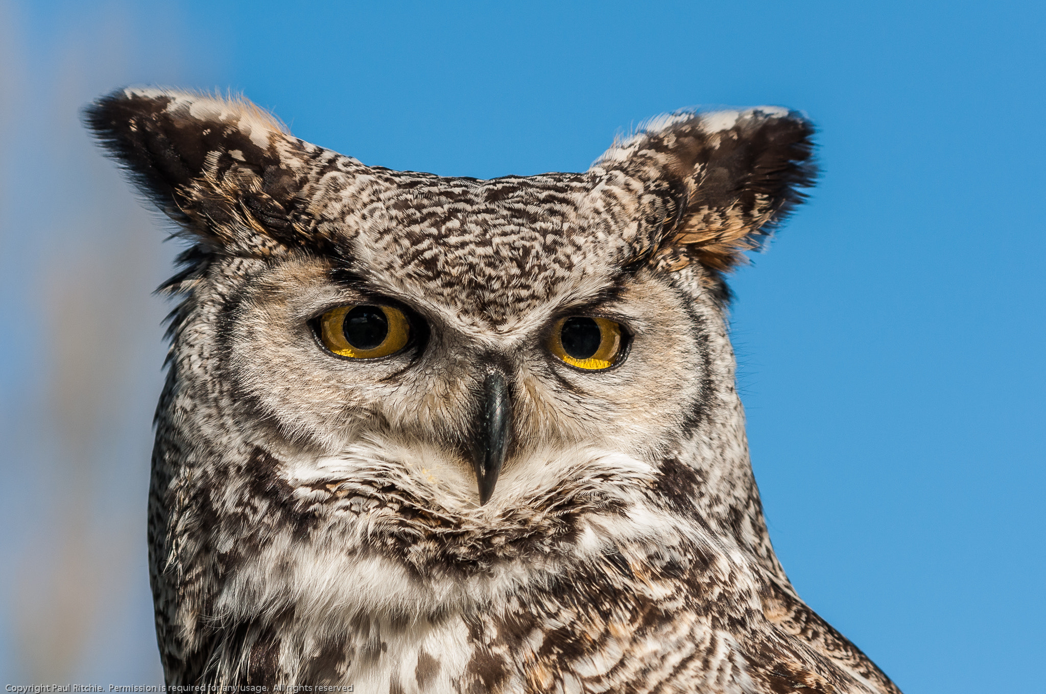 Photograph Long-eared Owl (Asio otus) by Paul Ritchie on 500px