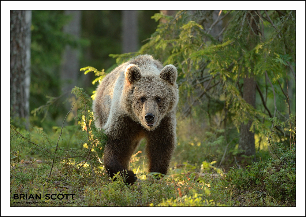Photograph Forest Bear by Brian Scott on 500px