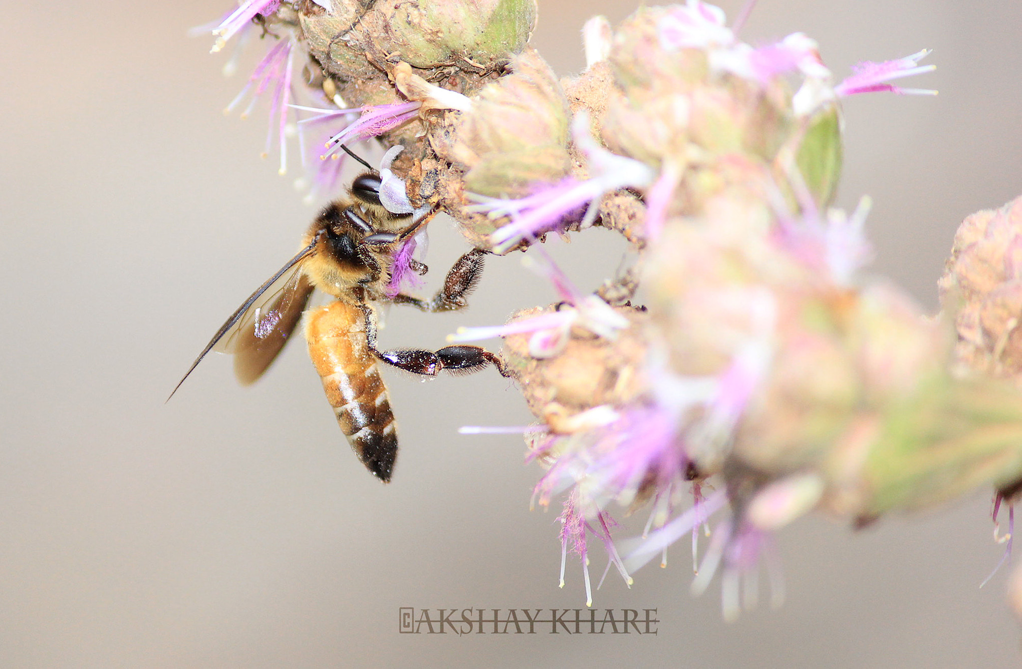 Photograph Honey bee collecting nectar  by Akshay Khare on 500px