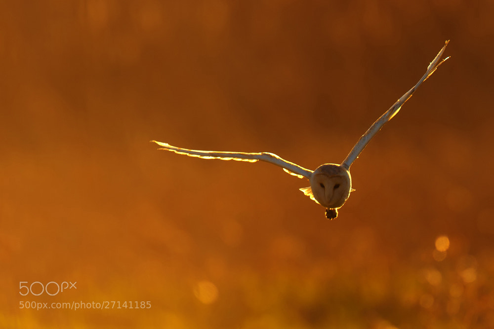 Photograph Backlit Barn Owl by Nigel  Pye on 500px