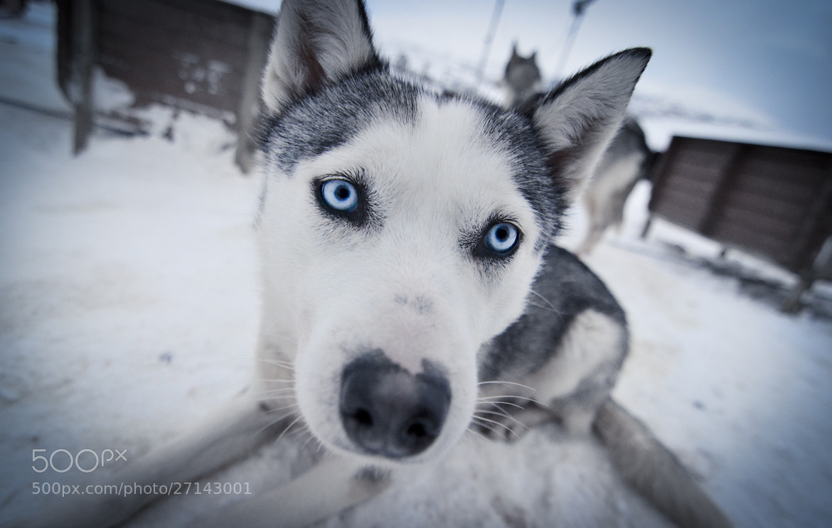 Photograph Siberian Blue by Jane Chuah on 500px