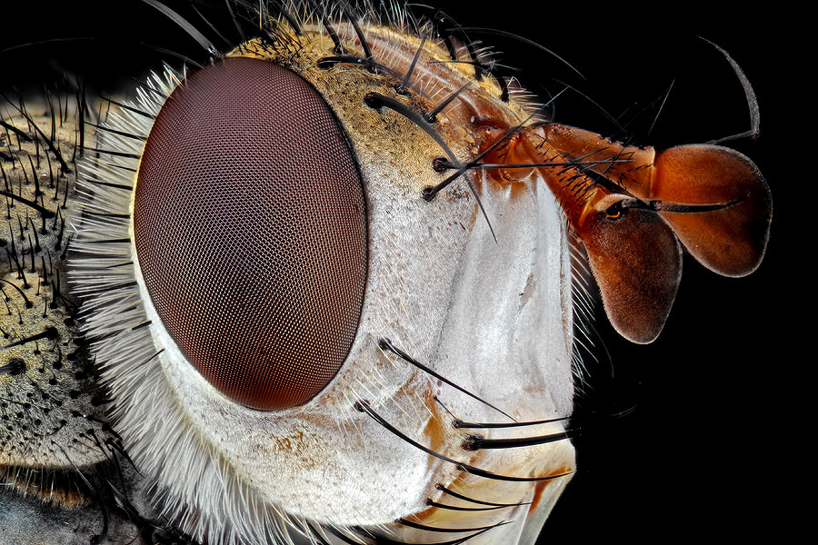 Photograph Tachinid Fly in Black by Donald Jusa on 500px