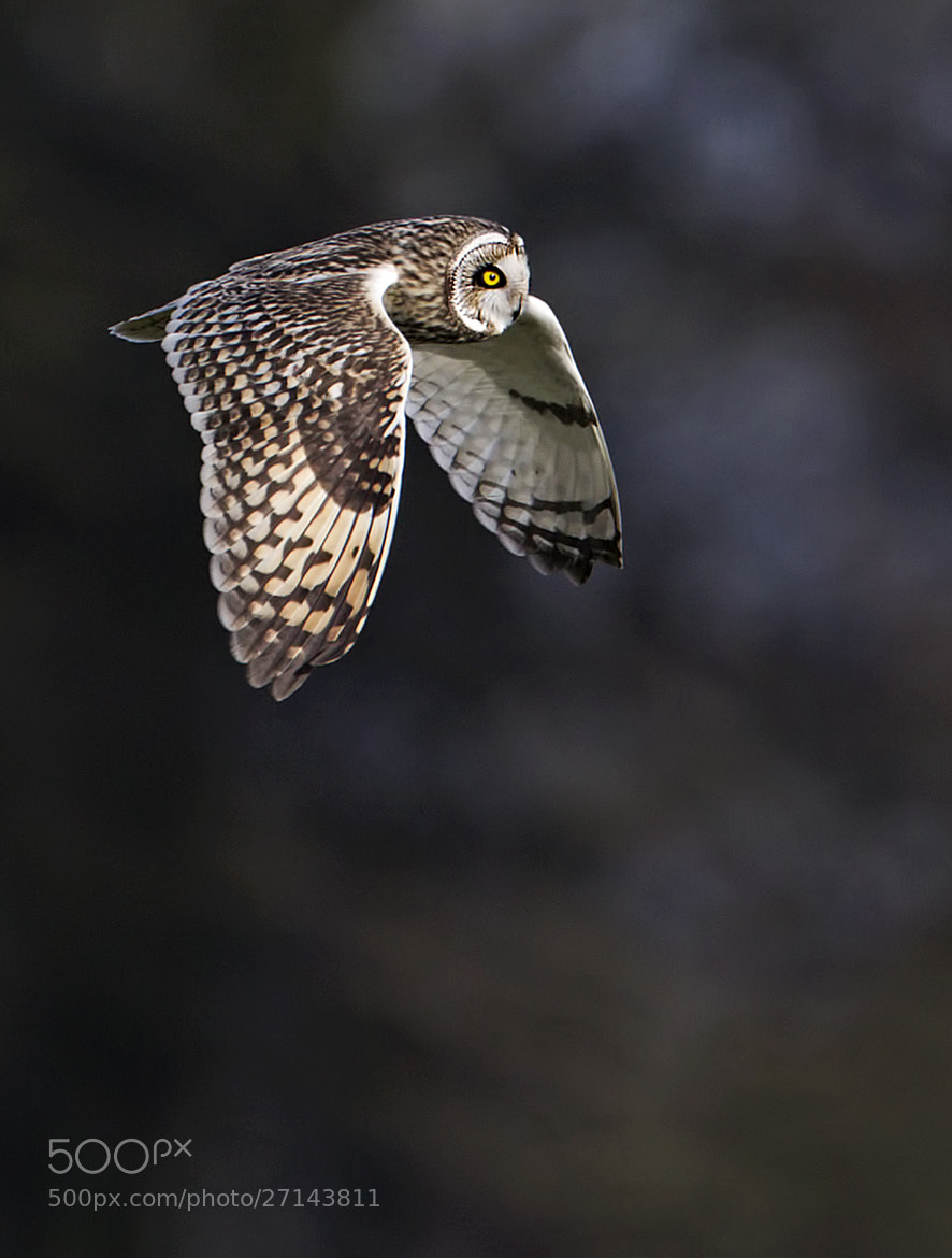 Photograph Short Eared Owl by Steven Ward  on 500px