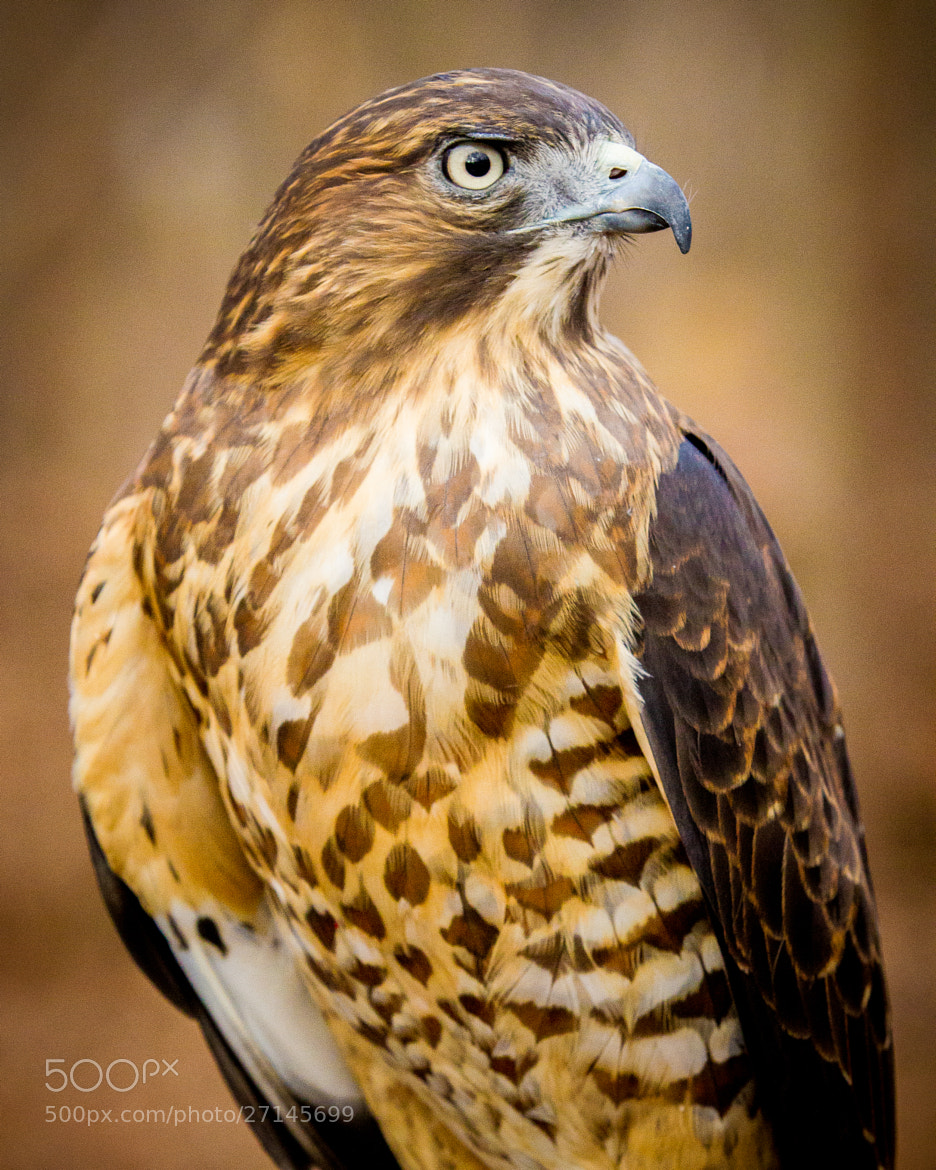 Photograph Broad-Winged Hawk by Scott Turnmeyer on 500px