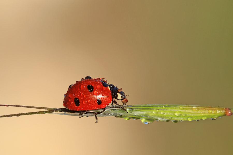 Ladybug by Necdet Yasar on 500px.com